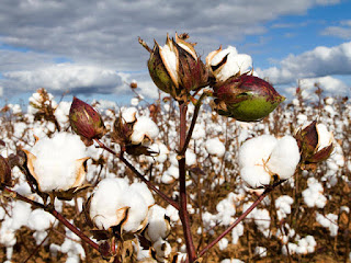 CCI buy less than 1 lakh bales of cotton