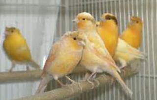 Teknik Mengawinkan Burung Kenari sama ibarat teknik perkawainan pada burung lainnya Kabar Terbaru- CARA MENJODOHAN BURUNG KENARI