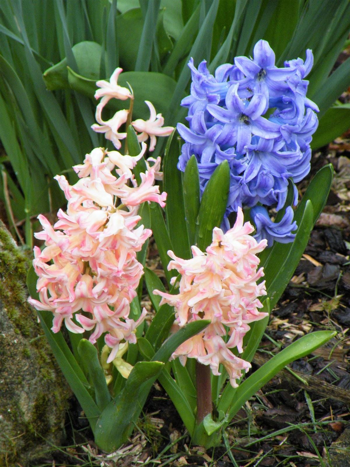 Du four au jardin et mes dix doigts fleurs de printemps for Fleurs jardin printemps