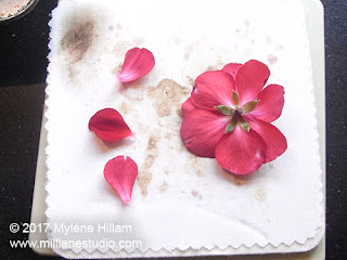 Place the blossom and petals between the cotton layers and then sandwich them in the Microfleur for pressing in the microwave.