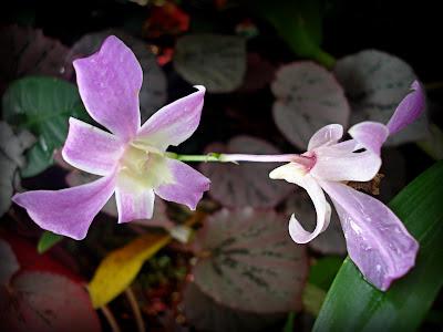 keindahan bunga orkid desa
