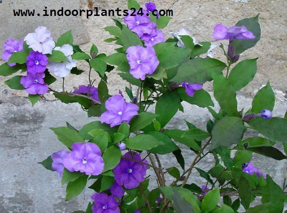 Solanaceae indoor house plant picture