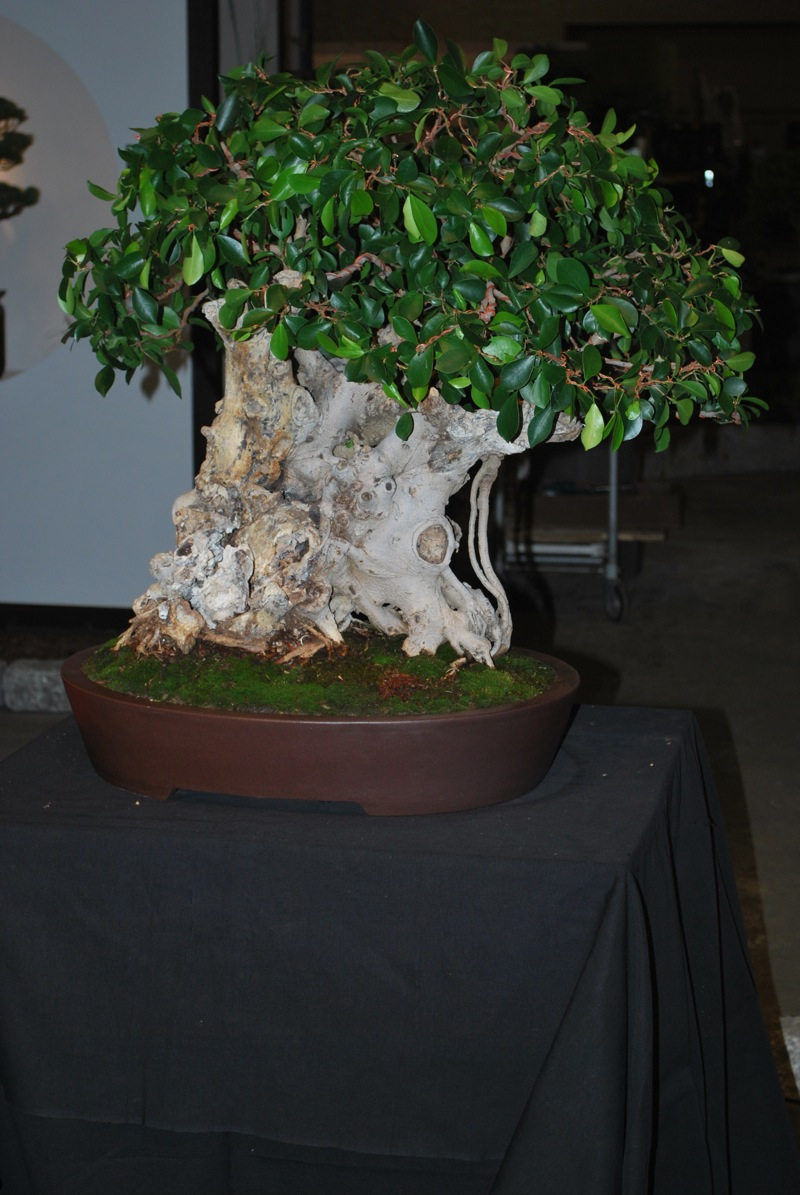 Bonsai Tree 24 Excellent Rosade Bonsai Studio Inspirations