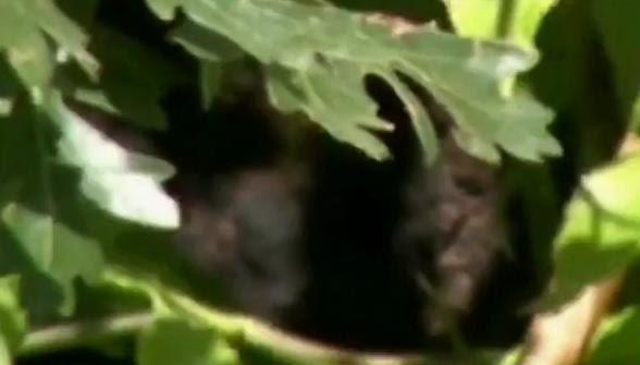 Bigfoot Evidence: Victor Oropeza's Arizona Bigfoot Footage