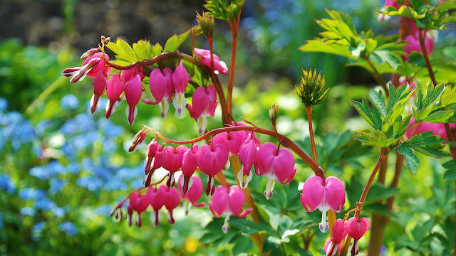Dicentra dies back in Summer
