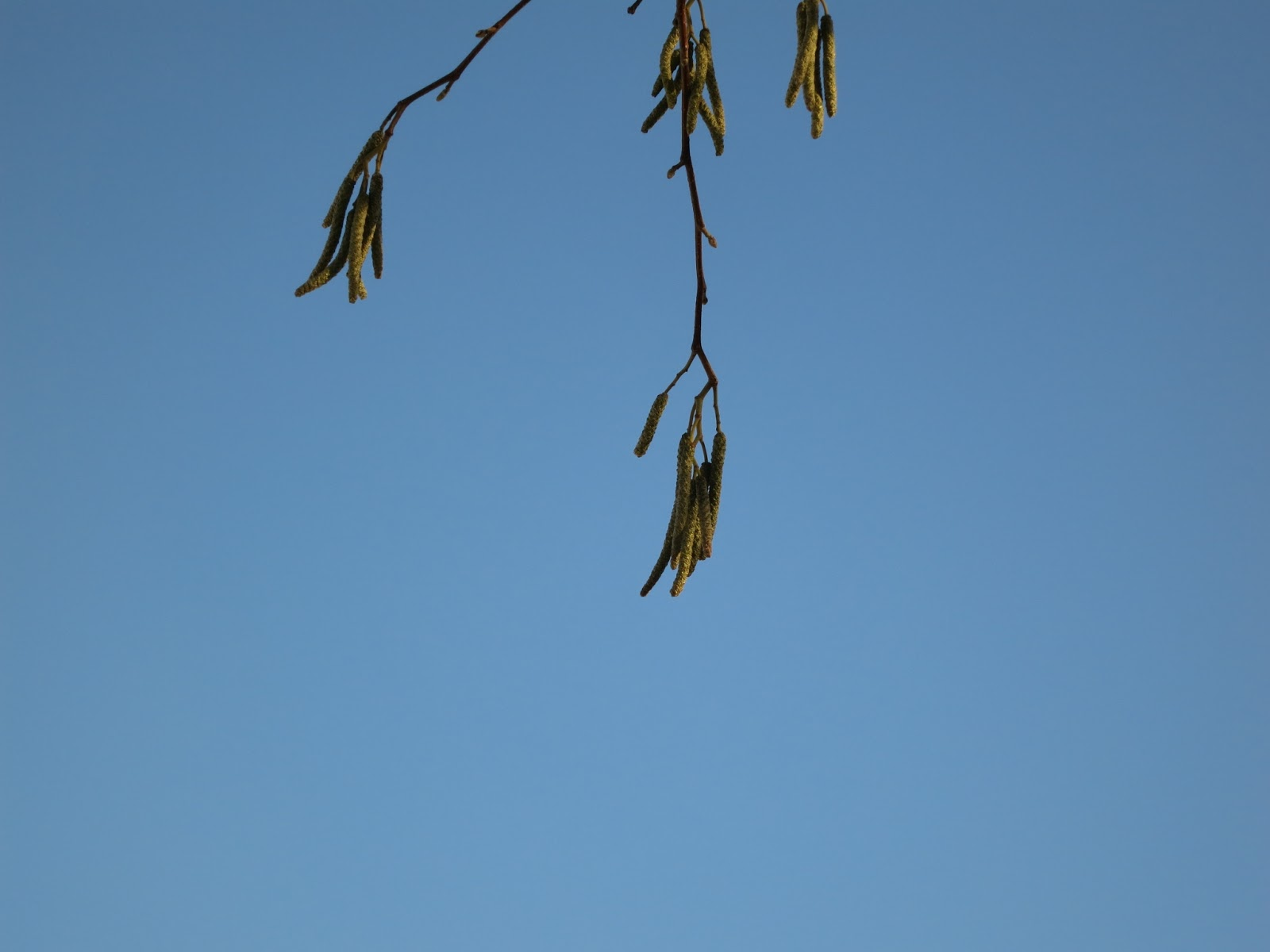 Catkins on the tree in the superstore car-park