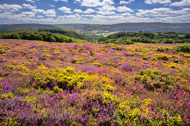 Bossington Hill filled with colourful heather and gorse in Exmoor by Martyn Ferry Photography