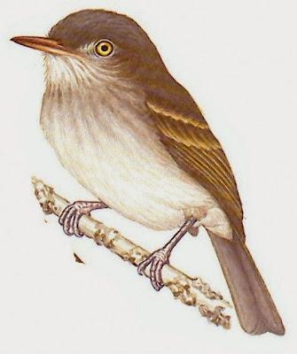 tyrant birds