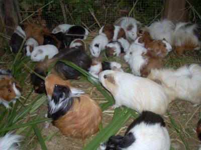 élevage cochon d'inde