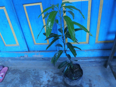 buah mangga | mangga irwin | jual bibit mangga unggul | mangga irwin unggul | buah mangga irwin | jual bibit mangga irwin | bibit mangga irwin murah | buah mangga irwin unggul | benih mangga irwin | cara merawat mangga irwin | buah mangga irwin unggul | budidaya buah mangga irwin | menanam mangga irwin | teknik menanam mangga irwin | cara budidaya mangga irwin