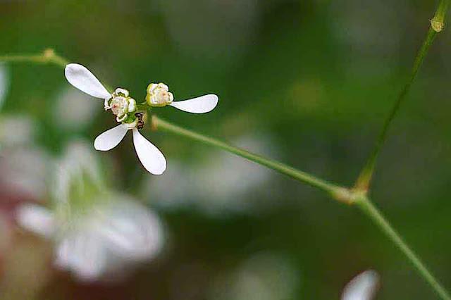 flower, white, leguminous, stem, plant