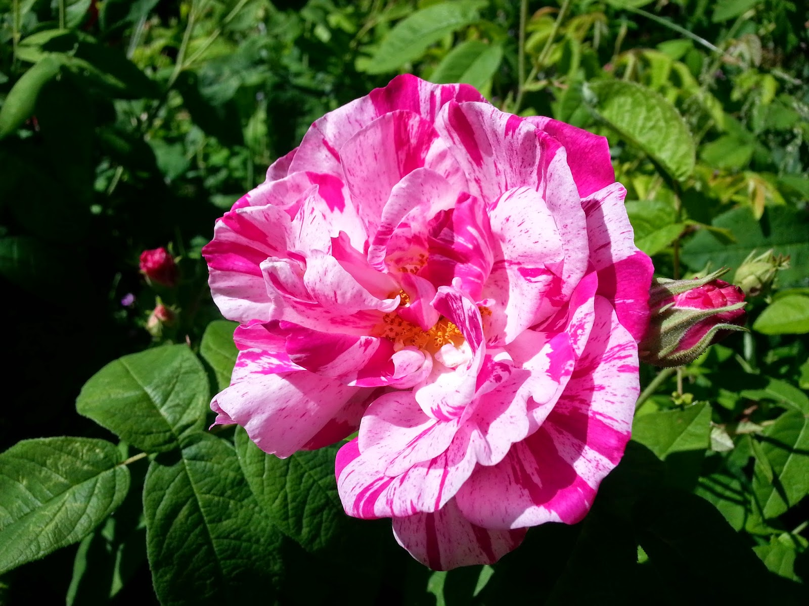 Weeding on the Wild Side: Continuous bloom: roses ...