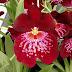 Miltonia - orhideea panseluță