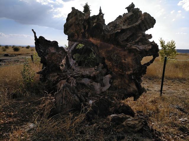 Raices de olivos arrancados recordando las de secuoyas de California