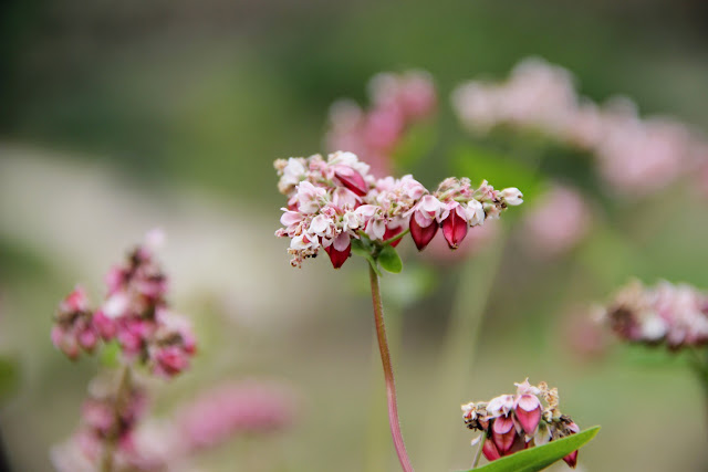 The History of Buckwheat Flower Season 2