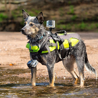 Cattle dog wearing a GoPro Fetch dog harness