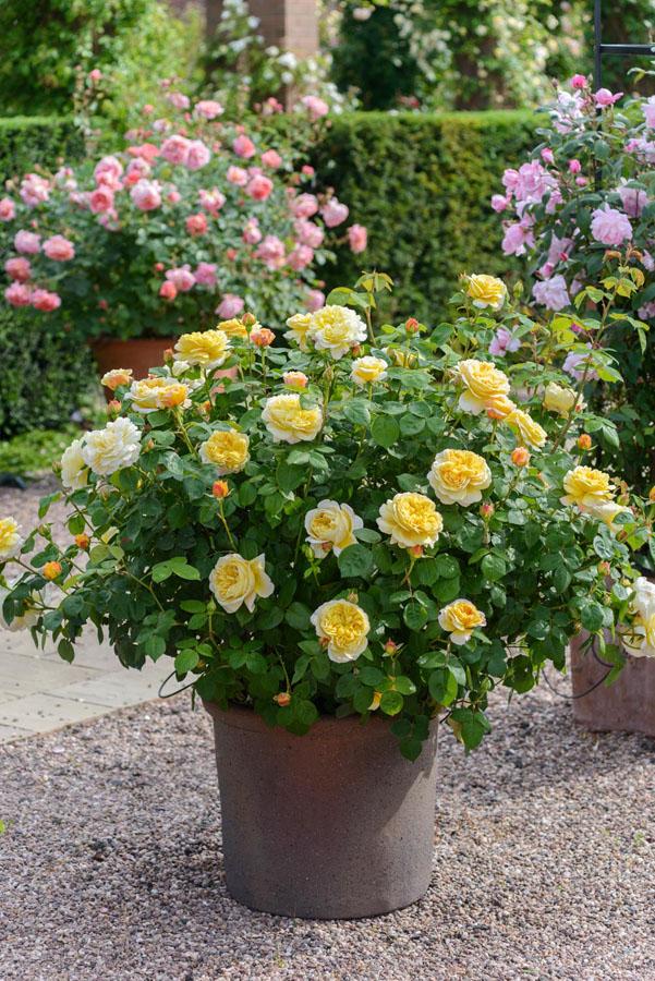 rosal ingles rosas amarillas cultivadas en maceta
