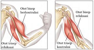 Mekanisme Kerja dari Otot Bisep dan Otot Trisep
