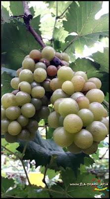 Kebun Anggur Sabah, Malaysia