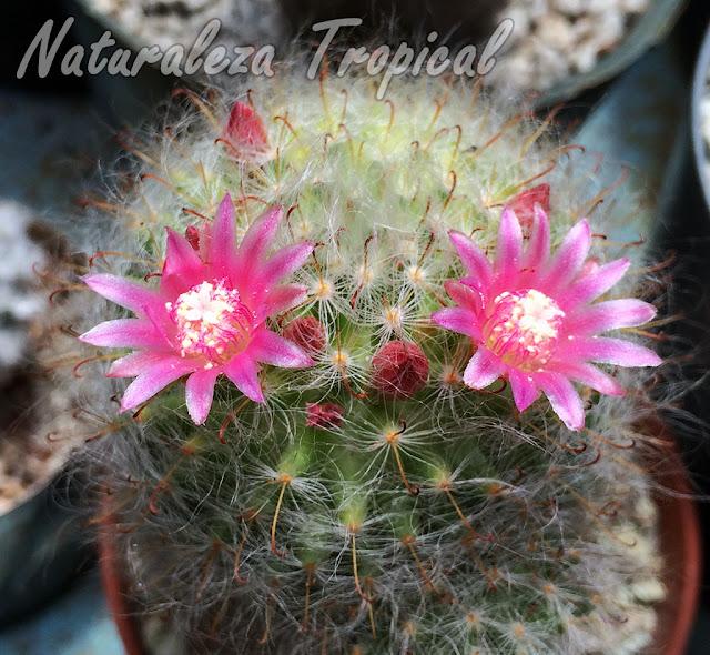 Detalles de las flores del cactus Mammillaria bocasana