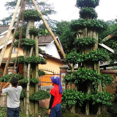 Jasa Tukang taman Surabaya Pohon Beringin Kecil