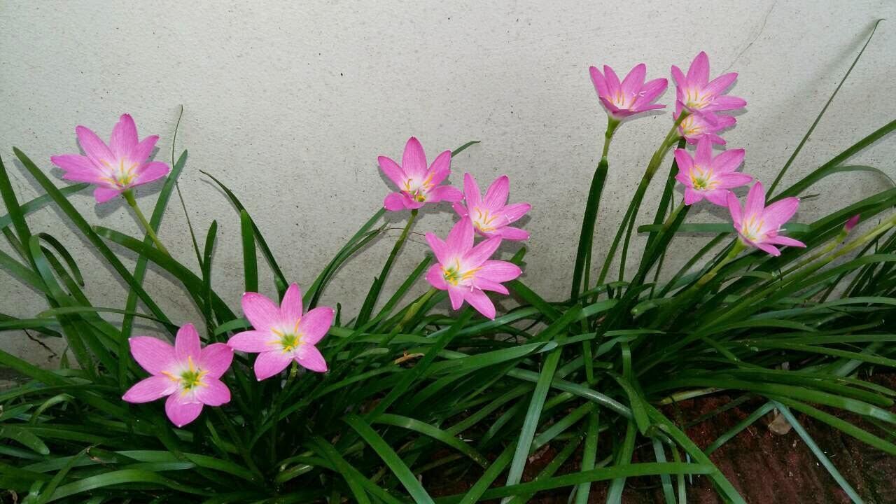 ดอกบัวดิน