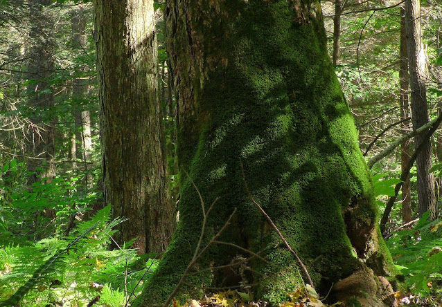 Moss-covered Old-Growth Sugar Maple