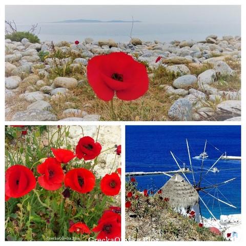 Czerwone maki. Mak na tle okrągłych kamieni i morza. Czerwone maki, wiatrak Mykonos, niebieskie spokojne morze.