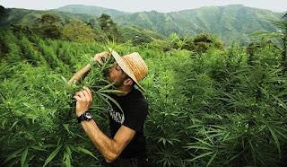 legalizacion marihuana venezuela legal ilegal