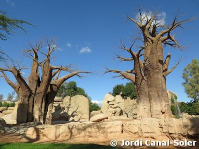 Baobabs en Bioparc Valencia