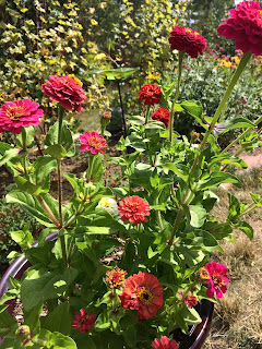 Beautiful Zinnias