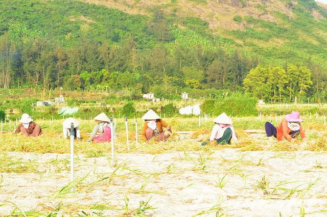 Nhiều diện tích tỏi trên đảo Lý Sơn đạt sản lương cao.