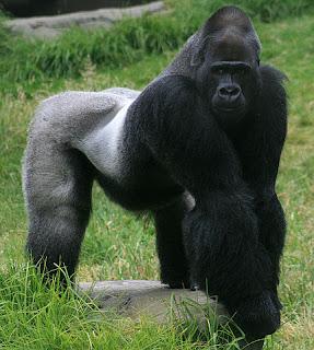 la edad de un gorila lomo plateado