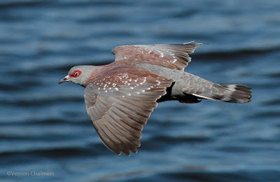 Rock Pigeon in Flight  Woodbridge Island, Cape Town (Canon EOS 70D / 400mm lens)