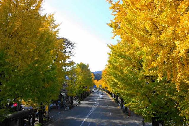 Hachioji Ginkgo Festival | November 18th & 19th, Hachiouji, Tokyo