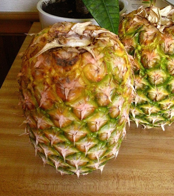Para que o abacaxi esteja sempre fresco, coloque-o de cabeça para baixo. (Serve também para outras frutas, como mamão, e outras).