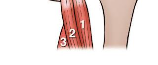 Hamstring Heads Anatomy Diagram 2 - El Paso Chiropractor