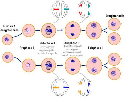 Proses pembelahan sel amitosis mitosis meiosis meiosis ii ccuart Choice Image