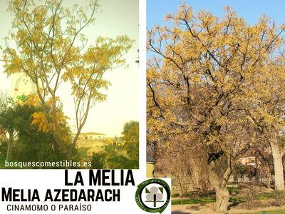 Melia azedarach, árbol de tronco derecho, caducifolio, sus frutos son toxicos