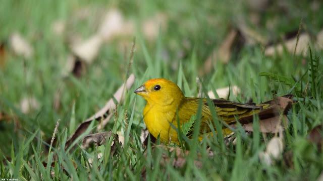 male Saffron Finch Sicalis flaveola pelzelni Canário-da-terra-verdadeiro Semillero Basto