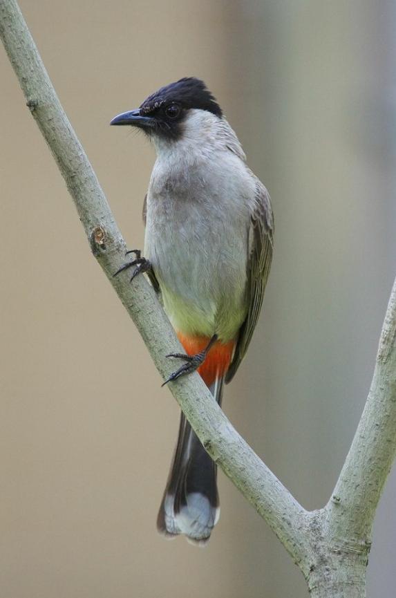 Birds In Thailand Sooty Headed Bulbul