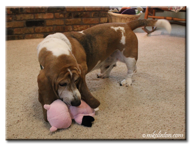 Bentley Basset plays with his Hear Doggy! piggy