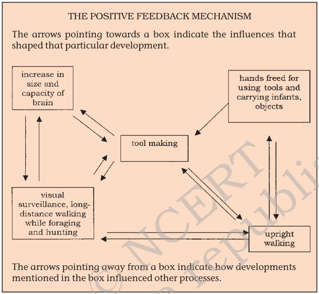 Diagram of Positive feedback mechanism