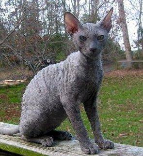 Cooinda Cat Resort Kitty Kapers Cat Breeds Cornish Rex