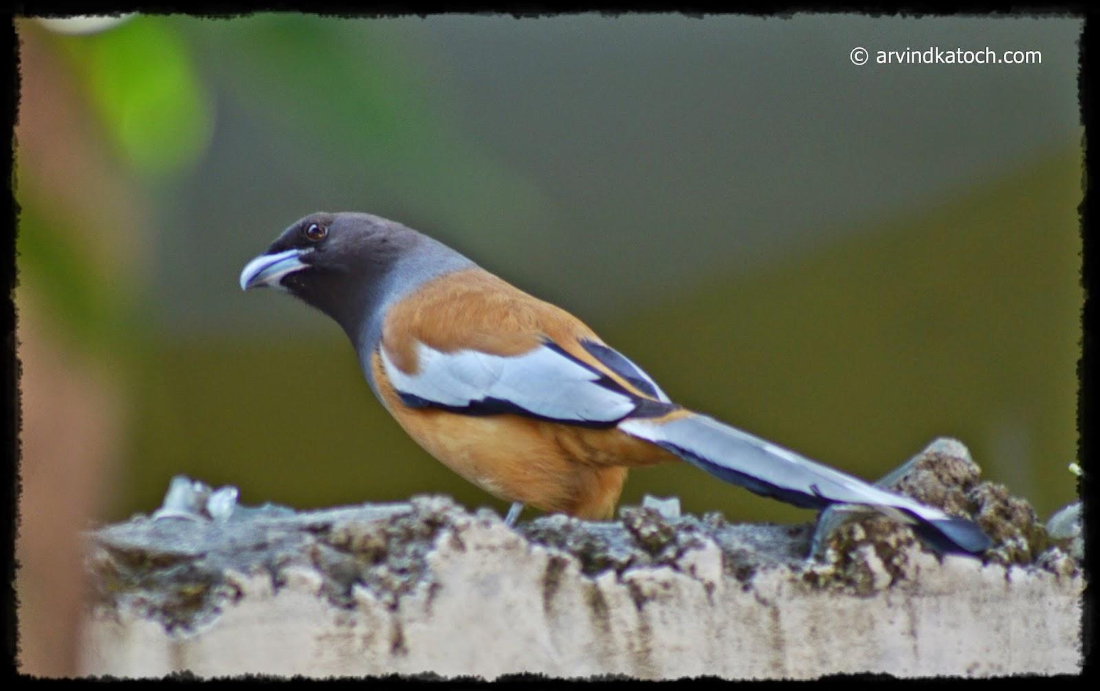 Punjab, Bird, Sweet Voice, Rufous Treepie