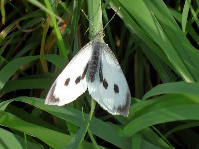 white-pieris-brassicae-butterfly