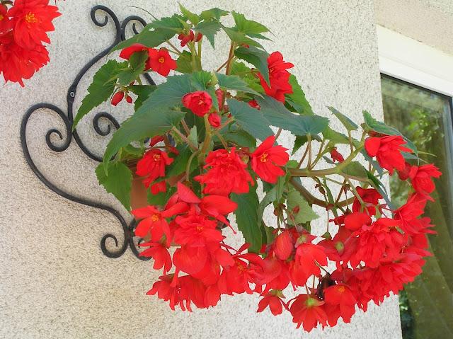 czerwone kwiaty doniczkowe