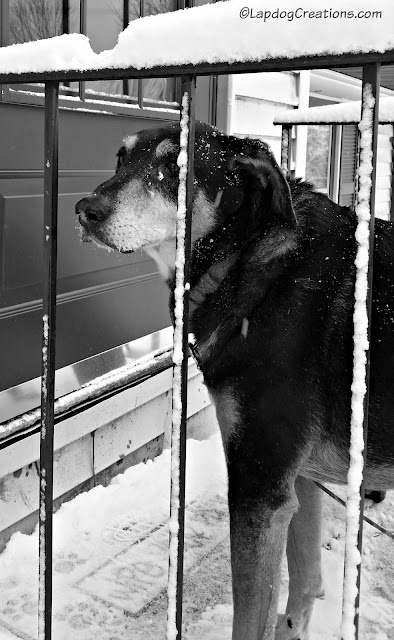 senior hound mix rescue dog in the snow