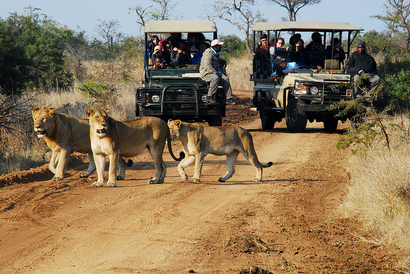 adventure, safari, lion, south africa, travel