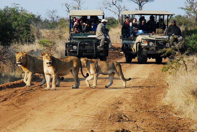 adventure, safari, lion, south africa, travel